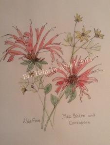 Bee balm 2014