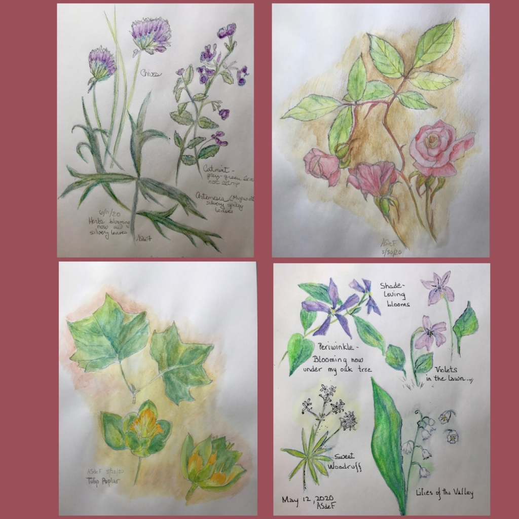 Four drawings of plants