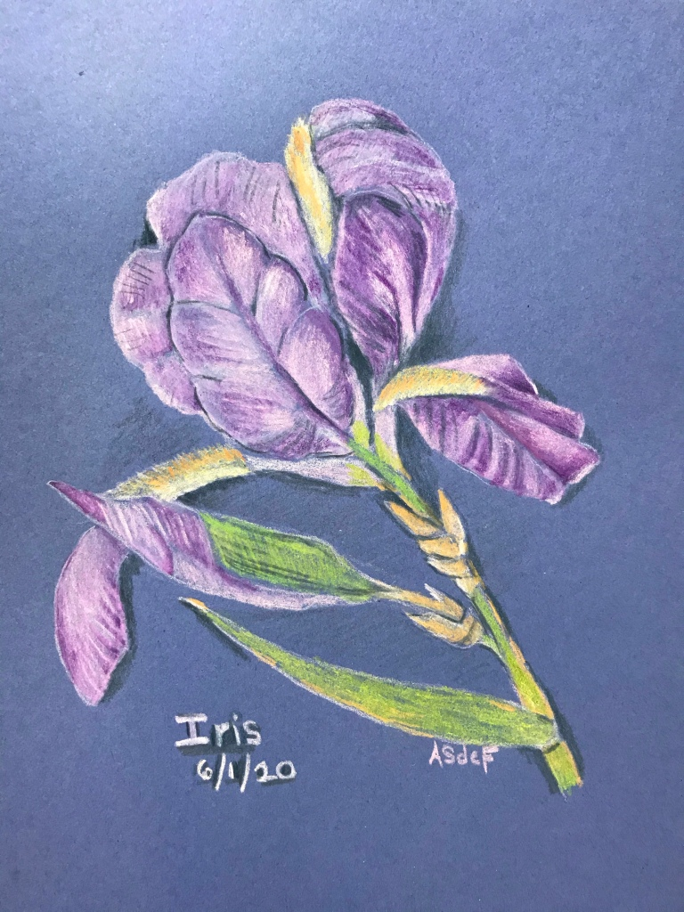Drawing of an iris