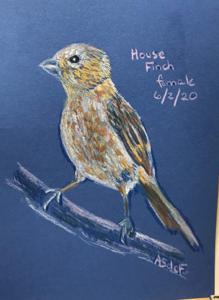 Drawing of a house finch
