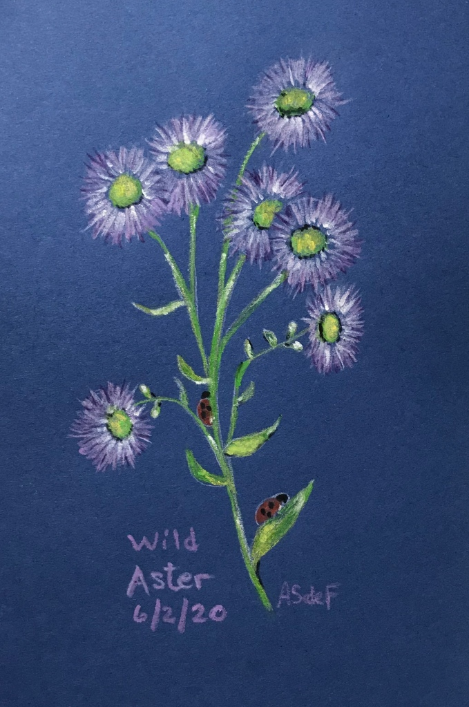 Wild Aster drawing