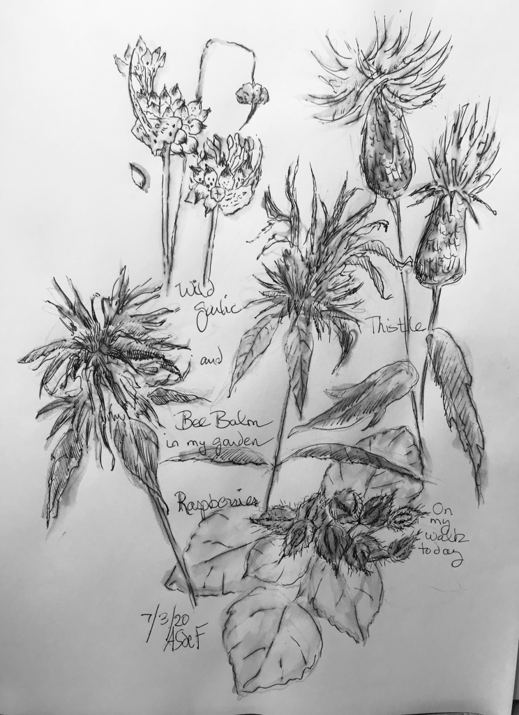 Ink drawing of raspberries, Bee Balm and wild garlic